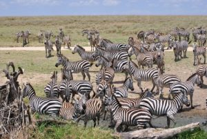 herd of zebra on grassland
