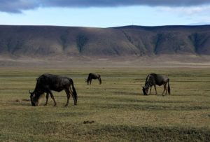 wildebeest grazing on flat grassland with crater edges in distance