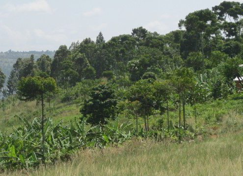 green hillside with grass and banana trees and lake in the background